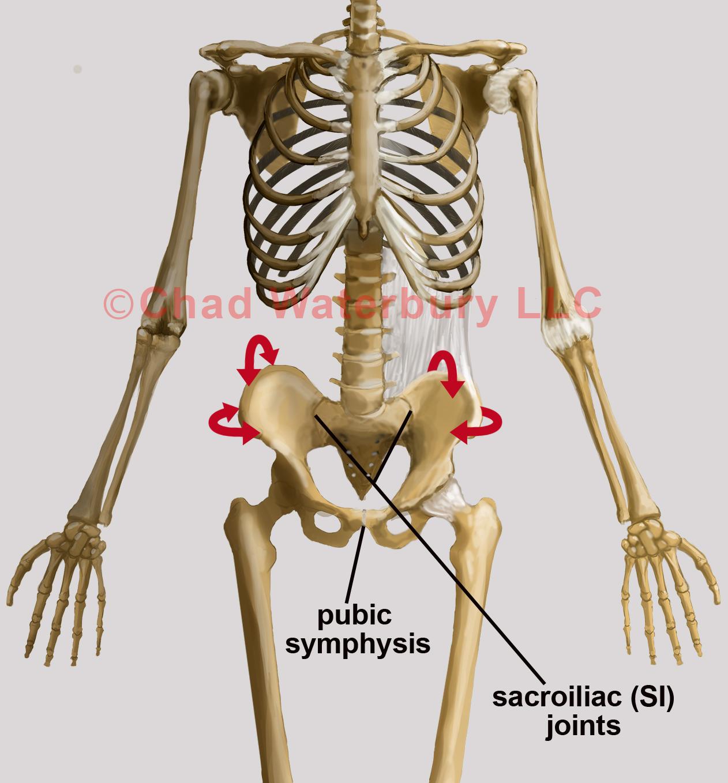 Blog Pelvis Skeleton Dr Chad Waterbury Transforming Through